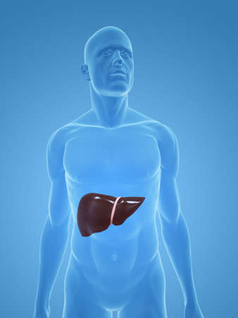 male body with liver photo