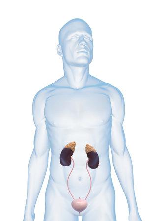 suprarrenales: cuerpo masculino con el sistema urinario Foto de archivo