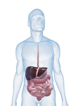 gullet: cuerpo masculino con el sistema digestivo