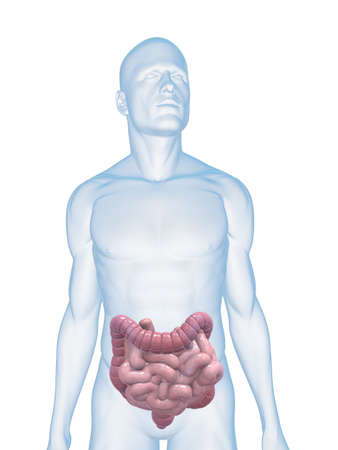 small intestines: male body with colon and small intestines Stock Photo