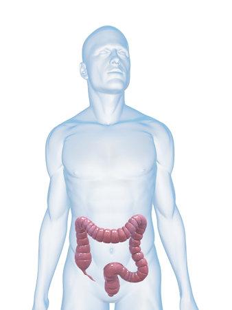 male body with colon Stock Photo - 5273064