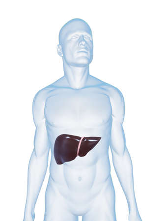 transparent male anatomy: male body with liver Stock Photo