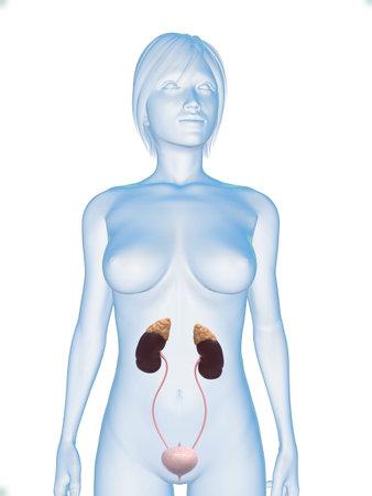 uretra: cuerpo femenino con el sistema urinario