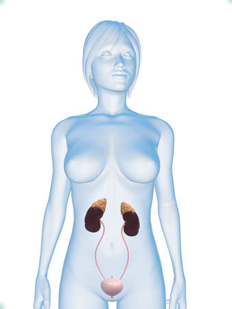 adrenal gland: female body with urinary system