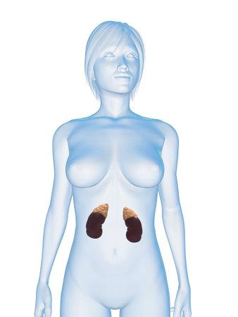 suprarrenales: cuerpo femenino con los riñones y las glándulas suprarrenales