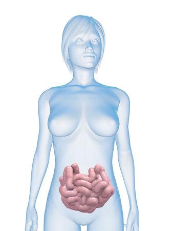 intestines: cuerpo femenino con intestino delgado