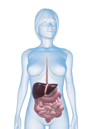 digestive health: female body wizth digestive system Stock Photo