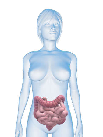 female body with colon and small intestines photo