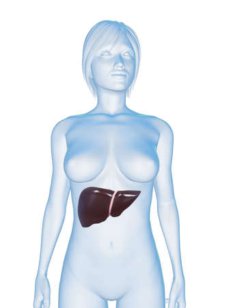 female body with liver photo