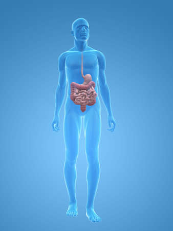 digestive health: transparent male body with digestive system