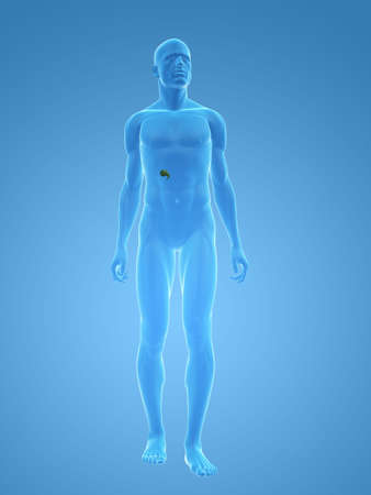 transparent male body with gallbladder photo