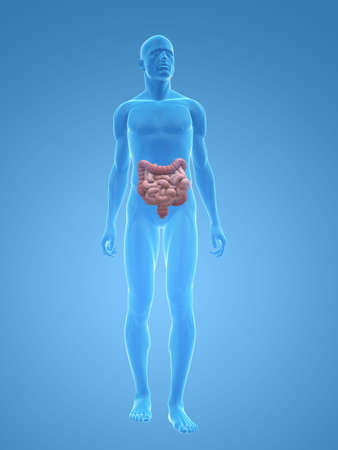 small intestines: transparent male body with colon and small intestines