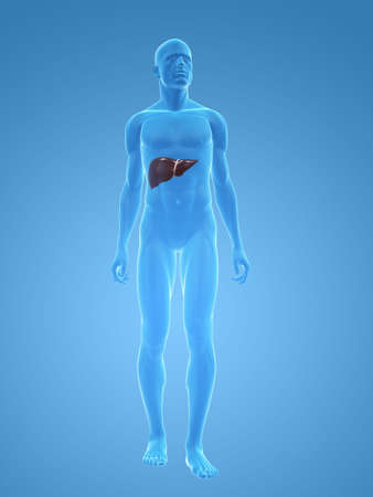 transparent male body with liver photo