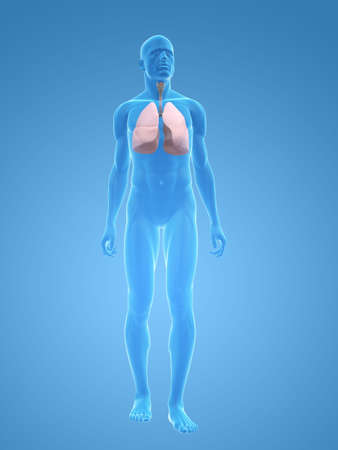 transparent male body with lung photo