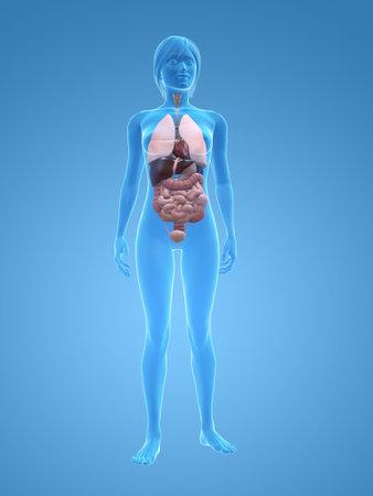 organos: cuerpo femenino transparente con los �rganos