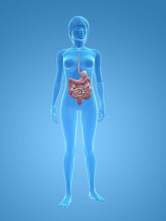 intestino: cuerpo de la mujer transparente con sistema digestivo