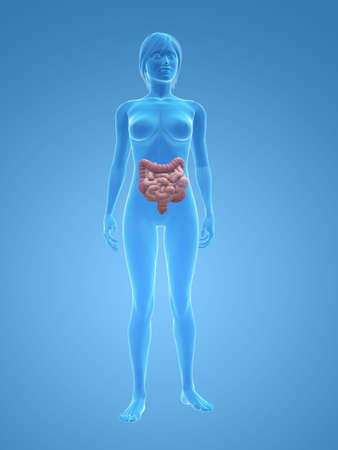 transparent female body with colon and small intestines photo