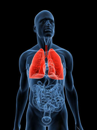 transparent male anatomy: transparent body with highlighted lung Stock Photo