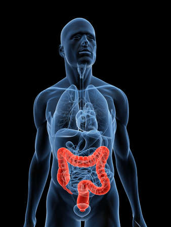 transparent body with highlighted colon Stock Photo - 5273097