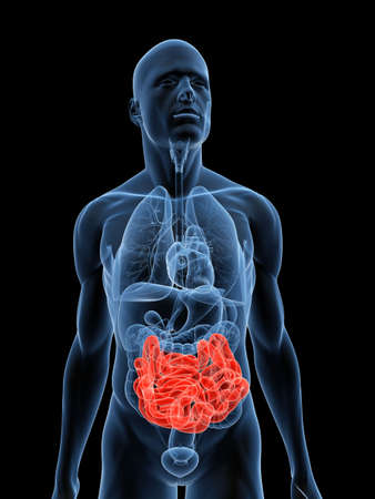 intestin: corps transparent avec en �vidence les petits intestins