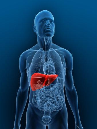 foie humain: corps transparent avec du foie mis en �vidence