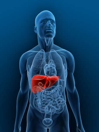 highlighted: transparent body with highlighted liver