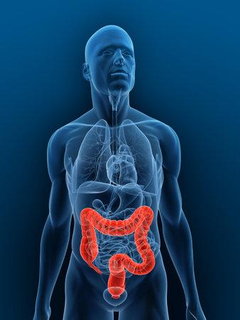 intestin: corps transparent avec deux points mis en �vidence