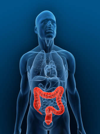 small intestine: transparent body with highlighted colon Stock Photo
