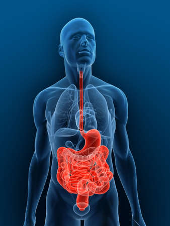 human intestine: transparent body with highlighted digestive system Stock Photo