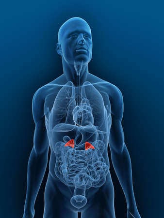 adrenal: transparent body with highlighted adrenal glands
