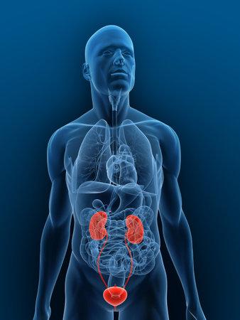 cuerpo transparente con relieve sistema urinario Foto de archivo