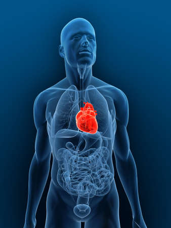 heart attacks: transparent body with highlighted heart