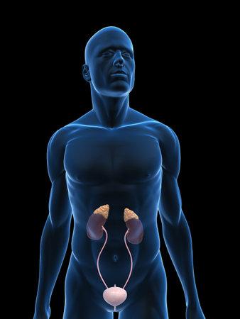 suprarrenales: cuerpo transparente con sistema urinario Foto de archivo