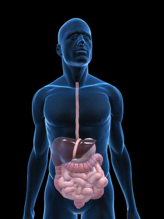 transparent body with digestive system photo