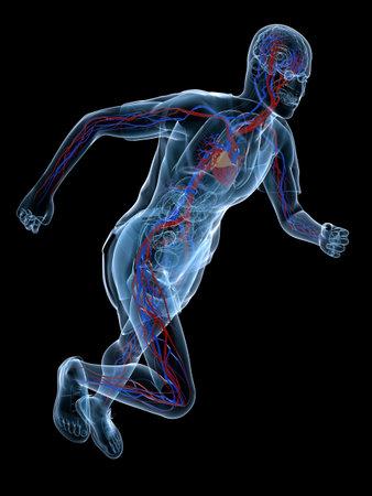 human heart anatomy: human vascular system