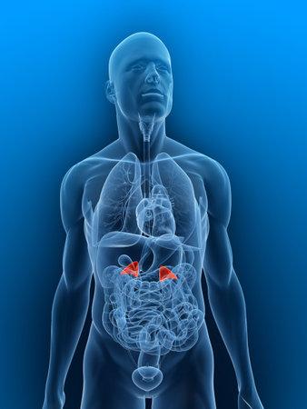 suprarrenales: cuerpo transparente con relieve las glándulas suprarrenales Foto de archivo