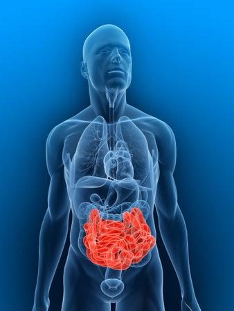 intestin: transparente corps avec de petits intestins en surbrillance