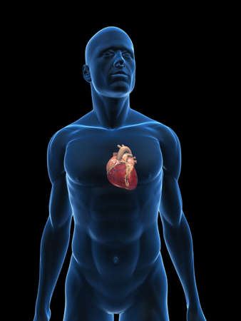 human bodies: transparent male body with heart