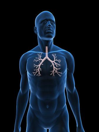 bronchi: transparent male body with bronchi