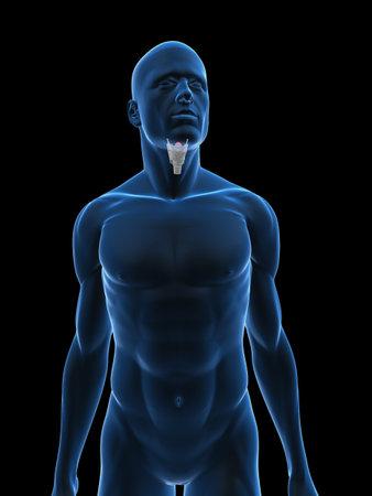 larynx: transparent male body with larynx