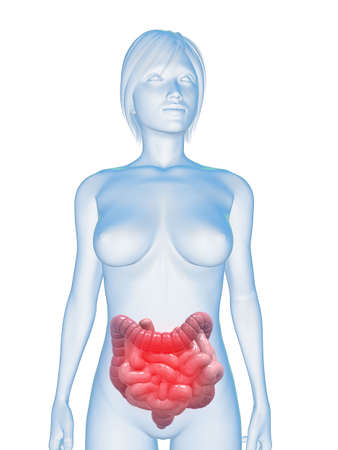 small intestines: transparent body with highlighted colon and small intestines Stock Photo