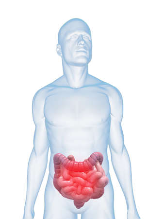 intestines: transparent body with highlighted colon and small intestines Stock Photo