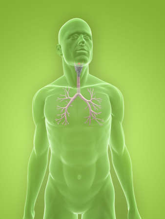 bronchi: transparent body with bronchi Stock Photo