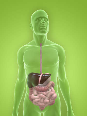 transparent body with digestive system Stock Photo - 5267735