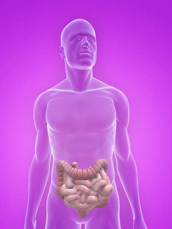 small intestines: transparent body with colon and small intestines