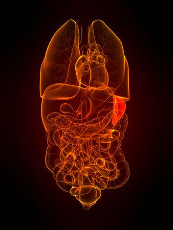 organi interni: organi trasparenti con milza evidenziato