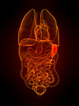 transparent organs with highlighted spleen photo