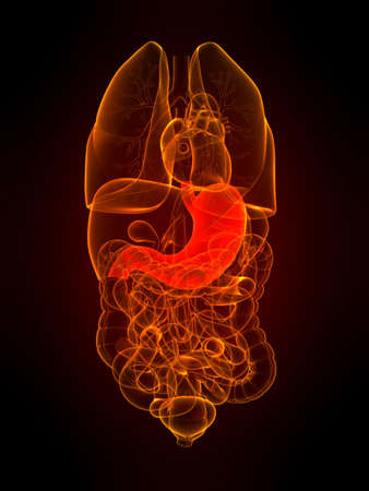 transparent organs with highlighted stomach Stock Photo - 5960326