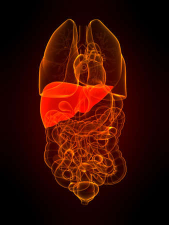 transparent organs with highlighted liver Stock Photo - 5960328