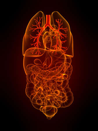 bronchi: transparent organs with highlighted bronchi Stock Photo